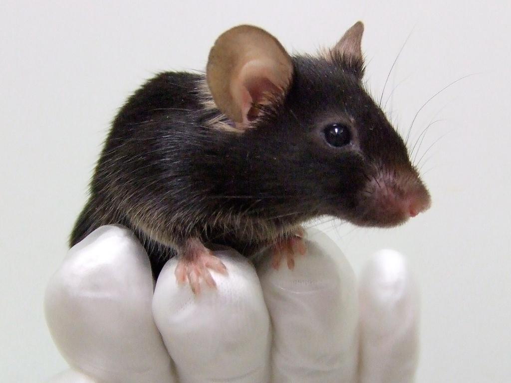 camundongo-rato-geneticamente-modificado-para-cantar-como-um-passaro-em-osaka-no-japao-pesquisadores-da-faculdade-de-biociencias-da-universidade-de-osaka-realizaram-esse-feito-21dez2012-1379077115935_1024x768